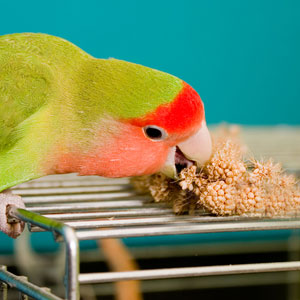 The Benefits of Millet for your Bird